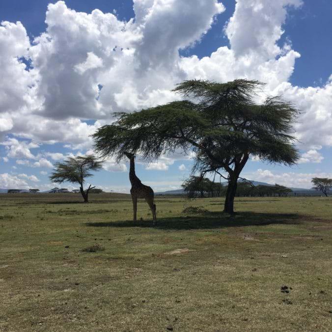 Giraff på Crescent Island