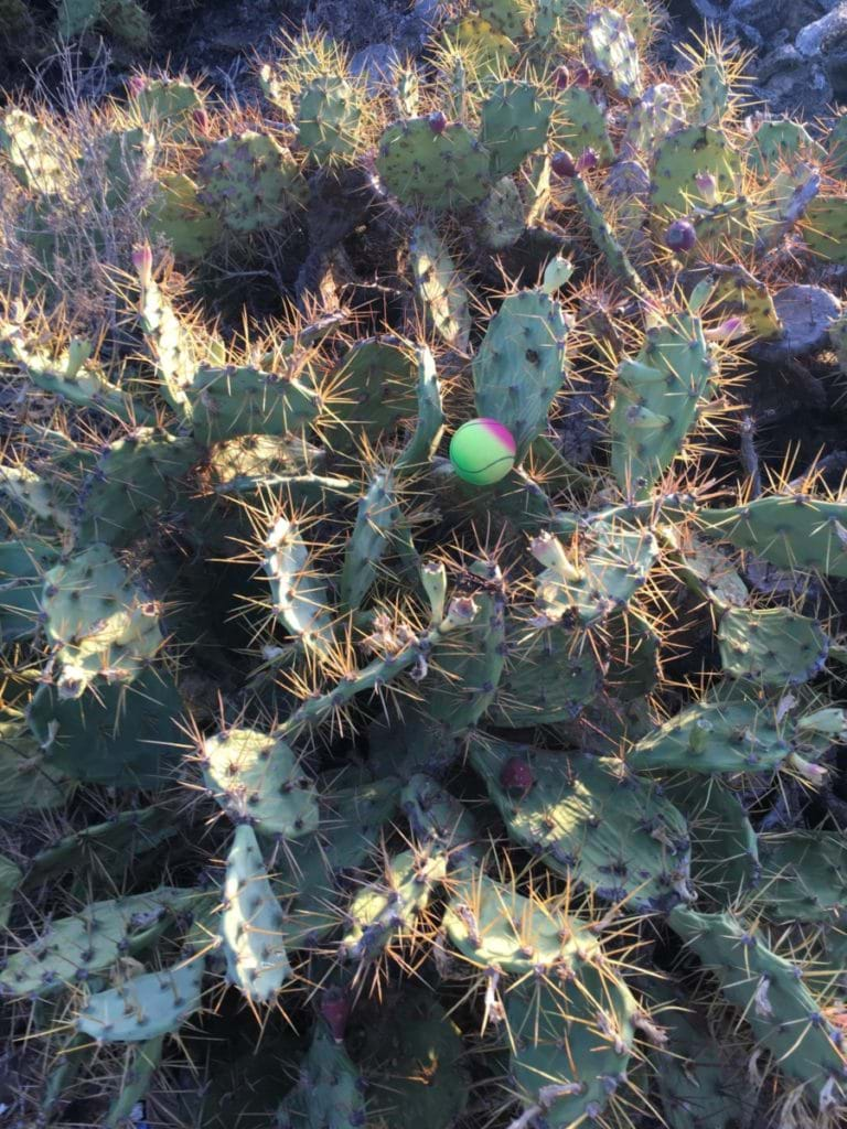 Familjesemester på Teneriffa - Kaktusar