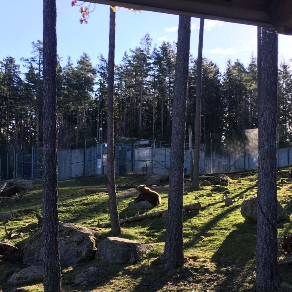 Snabb viktnedgång löpning - björnar i Borås Djurpark